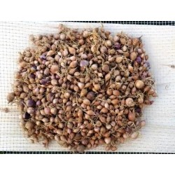 Northern Quebec, garlic seeds - rounds, 50 grams