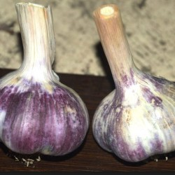 Kostyn Red, garlic seeds bulb