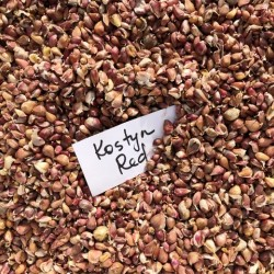 Kostyn Red Hardneck, garlic seeds