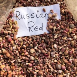 Russian Red Hardneck, garlic seeds