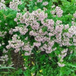 "Russian Oregano ""Northern Lights"", Herb plant 2"" pot"
