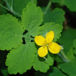 "Greater Celandine, Herb plant 2"" pot"