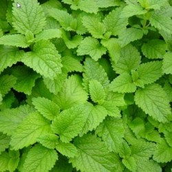 "Lemon Balm (Melissa), Herb plant 2"" pot"
