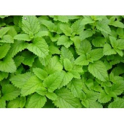 Lemon Balm (Melissa), seeds