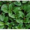 "Peppermint, Herb plant 2"" pot"