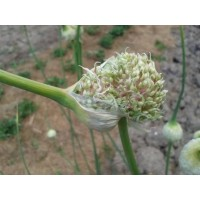 Northern Quebec Hardneck, garlic seeds - Umbel