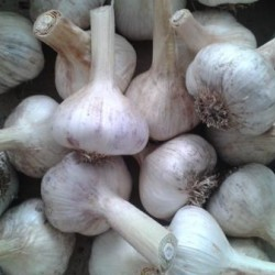 Russian Red, garlic seeds bulb