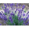 "Munstead, English Lavender plant, 2"" pot"