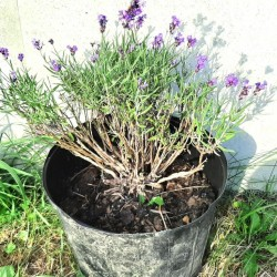 English Lavender, Medium Plant Potted