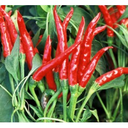 Pepper Hot Red Thai,  seeds