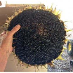 Sunflower Sundial Black, seeds