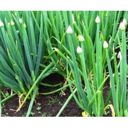 Onion Welsh, Heirloom seeds