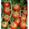 Plum Delight,  Tomato seeds, Organic