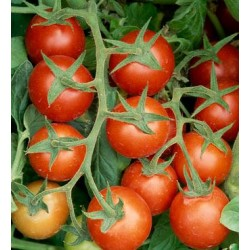 Tomato Plum Delight, seeds
